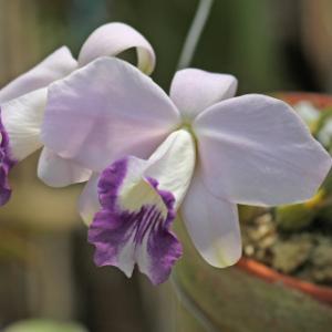C.Pastral Syphony fma.coerulea'Kana'