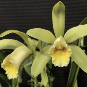 C.Luteous Forb'Select'