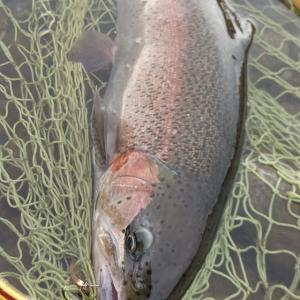 令和2年利根川冬季ニジマス釣り場オープン
