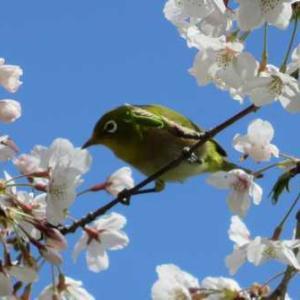 満開も桜にメジロ