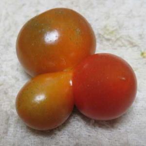ミニトマトがおもしろい!