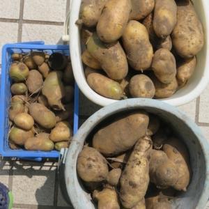 ジャガイモ収穫!!