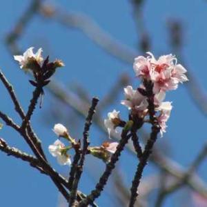 桜が咲いてました!