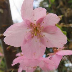 近所の河津桜が満開に!!