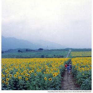 File,2156 【Clouded Yellow~花畑】Hassel Blad 500C / FUJICHROME PROVIA100F