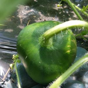 スイカ栽培の記録 56日(8週)種なしスイカ、受粉の難しさ。