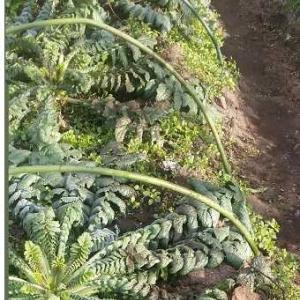 富津市 始めましょう家庭菜園】桜島大根の成長は、