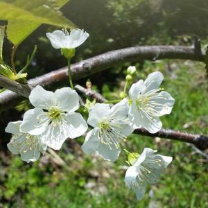 サクランボ 月山錦の開花