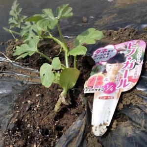 スイカ栽培の記録7日と、スイカの定植第二弾