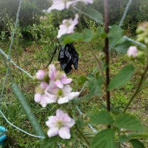 スイカ栽培の記録 28日(4週間)