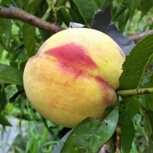 桃の初収穫