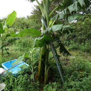 バナナ苗の栽培記録 葉が20枚