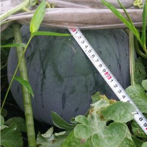 ふっつ市 スイカ・メロン・トマトの成長は。朝飯前の有機無農薬栽培