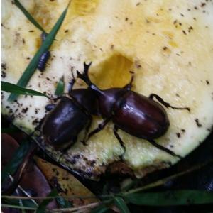 ふっつ市 スイカ栽培最終章とカブトムシ