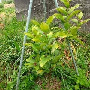 この冬に植えたレモンに蕾がついた