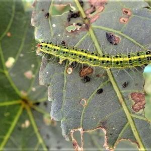 オクラの葉に付く虫