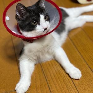 猫の去勢手術の方法!傷口を縫うのと縫わないの