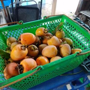 干し柿を作ります。
