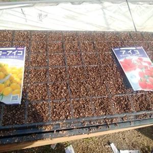 ミニトマトの苗つくり