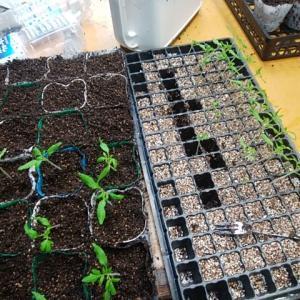 トマト苗の植え替え