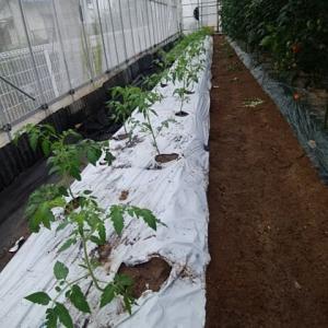 トマトの植付け