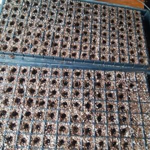 黒大豆の種まき