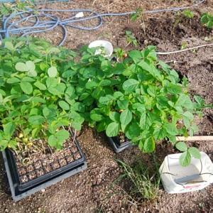 黒大豆の植付け