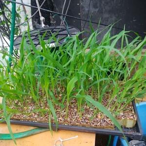 トウモロコシの植付け