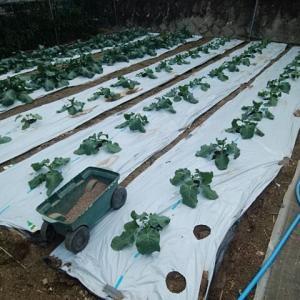 ブロッコリーに追肥とラディッシュの種蒔き