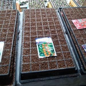 ミニトマトの種蒔き