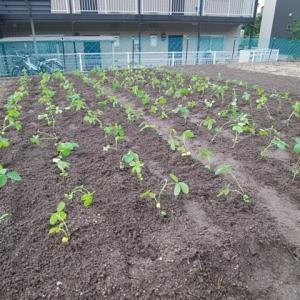 黒豆の植付け