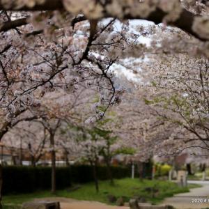桜のお散歩は神頼み