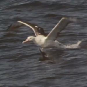 先行配信のお知らせ「動物映像大百科 第4巻 鳥類 サイド1のA面」