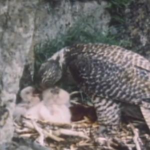先行配信のお知らせ「動物映像大百科 第4巻 鳥類 A面2」