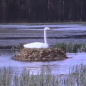 先行配信のお知らせ「動物映像大百科 第4巻 鳥類 A面3」