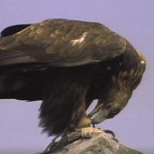 先行配信のお知らせ「動物映像大百科 第4巻 鳥類 B面2」
