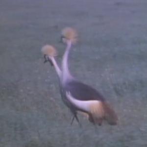 先行配信のお知らせ「動物映像大百科 第4巻 鳥類 B面3」