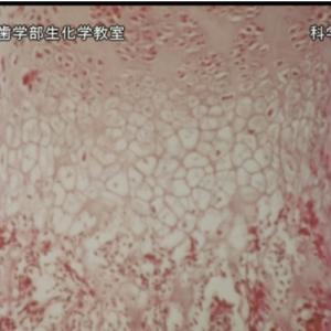 先行配信「ラット肋軟骨成長軟骨細胞の分離培養法とその内軟骨性骨形成