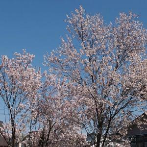 桜 2019年5月5日