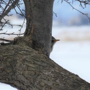 迷鳥 ノハラツグミ