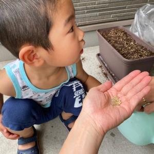 雑穀の種蒔き