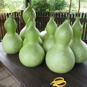 ひょうたんを収穫…