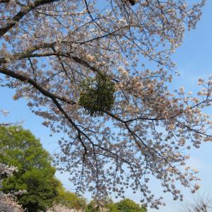 桜の宿木と遊具。