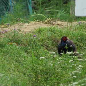 萩の花を探しに行って、雉に会う。