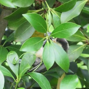 シジュウカラの幼鳥。
