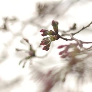 近所の桜。