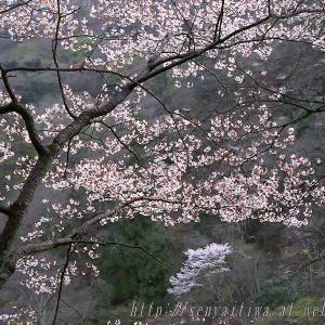 桜画像 2006年4月