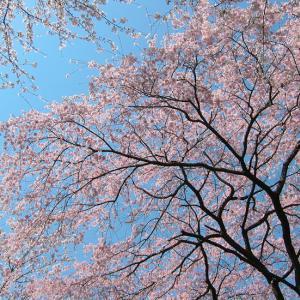 桜画像 2003年(2)