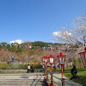 桜と鯉のぼりの共演、野辺地町の愛宕公園。