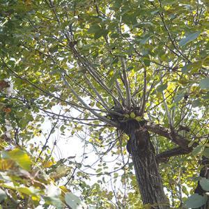 アトリエ彩土の大きなクルミの木